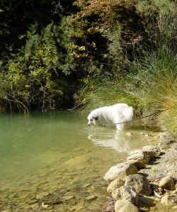 Clowie, Pyrenean Mountain Dog (Great Pyrenees), in the stream