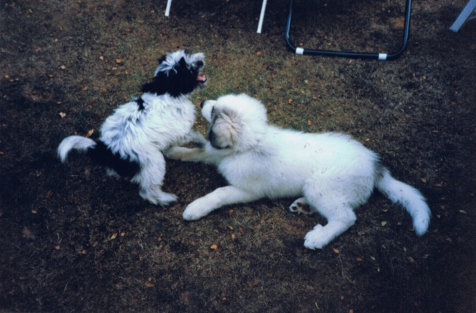 Pyrenean Mountain Dog, or Great Pyrenees, puppy with Tibetan Terrier puppy