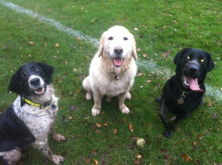 Happy dogs! From left to right - Merlin, Arthur and Hetty