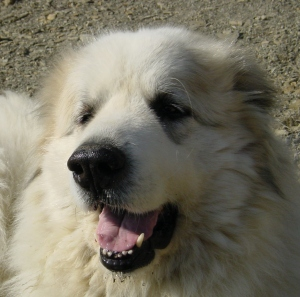 Clowie , Pyrenean Mountain Dog, Great Pyrenees, smiling