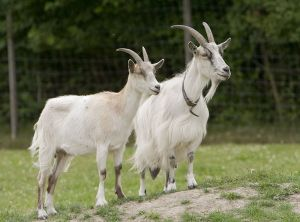 Goats? They shouldn't be in the car park! From Wikimedia Commons