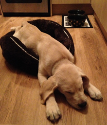 Milo, when he was much younger, dreaming about being a Guide Dog when he's grown up