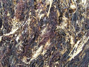 Dried seaweed - photo from Wikimedia Commons