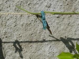 Jiminy next to a chewed wisteria shoot