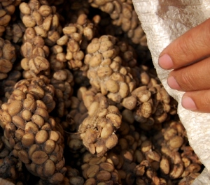 Kopi luwak beans from faeces Attribution: By Wibowo Djatmiko (Wie146) (Own work) [GFDL (http://www.gnu.org/copyleft/fdl.html) or CC-BY-SA-3.0-2.5-2.0-1.0 (http://creativecommons.org/licenses/by-sa/3.0)], via Wikimedia Commons