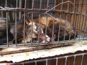 Civet cat in a cage Attribution: By surtr (Flickr: luwak (civet cat)) [CC-BY-SA-2.0 (http://creativecommons.org/licenses/by-sa