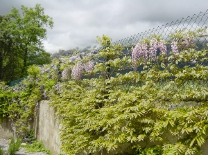 Wisteria in flower this Spring