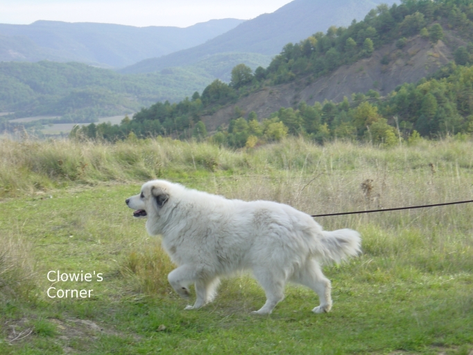 Clowie, Pyrenean Mountain Dog, Great Pyrenees strolling in the mountains