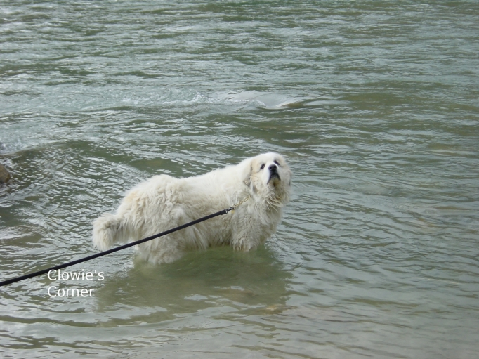 Clowie, Pyrenean Mountain Dog, Great Pyrenees, standing in river