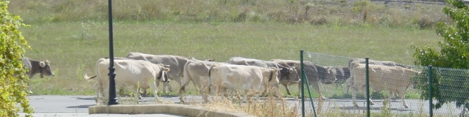 Cows going by