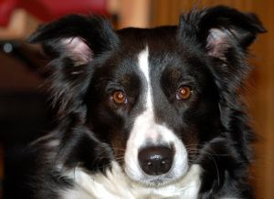 Border Collie, black and white