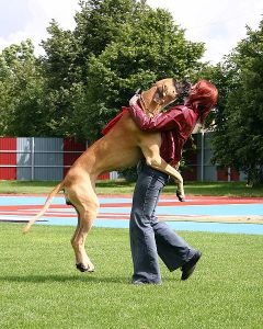 Large dog jumping up