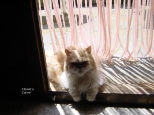 Mulberry, Persian cat