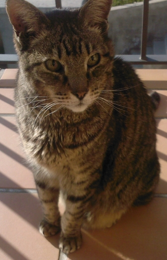 Pippin, tabby cat