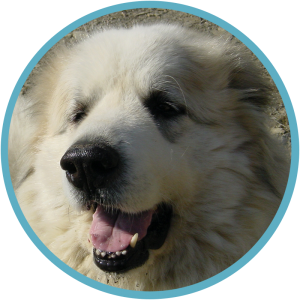 Clowie, Pyrenean Mountain Dog, Great Pyrenees
