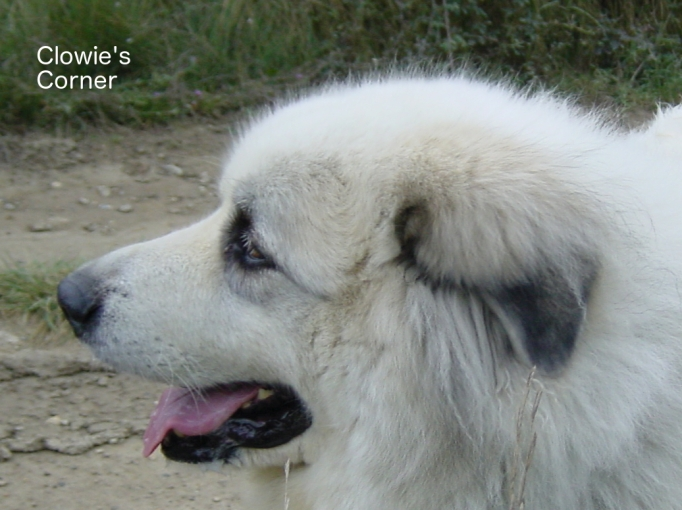 Head of Clowie, Pyrenean Mountain Dog, Great Pyrenees