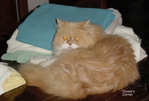Mulberry, Persian cat, with towels