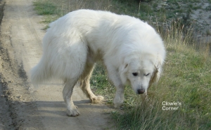 Pyrenean Mountain Dog, Great Pyrenees