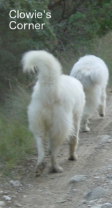 Pyrenean Mountain Dogs, Great Pyrenees, Clowie and Romeo