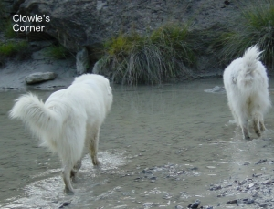 Pyrenean Mountain Dogs, Great Pyrenees, in a stream