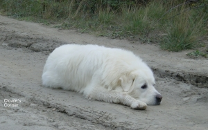 Pyrenean Mountain Dog, Great Pyrenees, in the mud