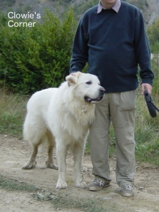 Pyrenean Mountain Dog, Great Pyrenees, being stroked
