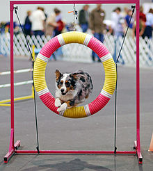 Australian Shepherd jumping through a gap at agility
