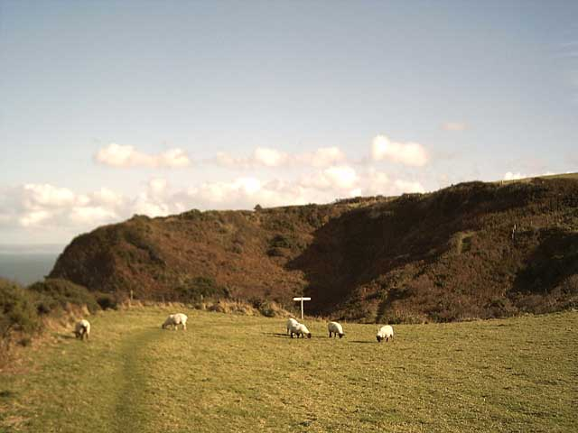 Sheep near Gawlish Cliff