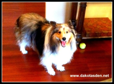 Dakota, Sheltie, smiling