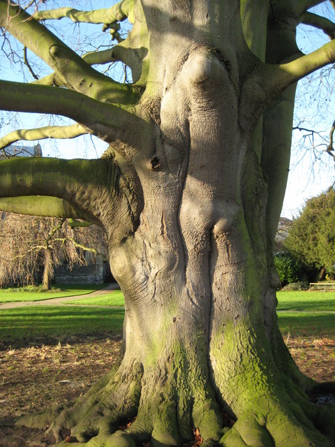 A large beech tree